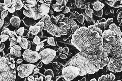 Leaves of plants covered with frost the view from the top. A black and white photo Royalty Free Stock Photo