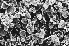 Leaves of plants covered with frost the view from the top. A black and white photo Stock Photography