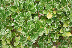 Leaves of plants Emerald Gaiety Euonymus Stock Photos