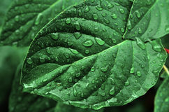 Leaves and Plants in Rainstorm. Rainstorm and rain drops on leaves and plants Stock Images