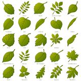 Leaves of Plants, Set. Set of Green Leaves of Various Plants, Trees and Shrubs, Nature Icons for Your Design. Vector Stock Photo