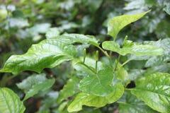 Leaves plu green Royalty Free Stock Photos