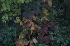 Leaves. Poisen ivy and oak growing up a small tree Royalty Free Stock Photo