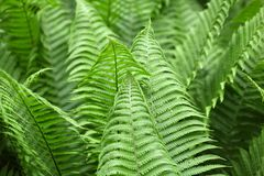 Leaves of Polystichum ferns Stock Images