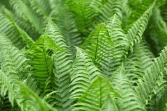 Leaves of Polystichum ferns Stock Photos