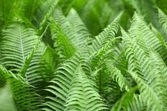 Leaves of Polystichum ferns Royalty Free Stock Photo
