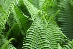 Leaves of Polystichum ferns Royalty Free Stock Photos