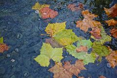 Leaves pond autumn Royalty Free Stock Image