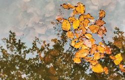 Leaves in a Pond Stock Image