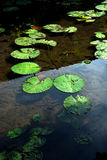 Leaves in a pond Stock Images