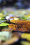 Leaves in pond Stock Photography