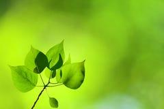 Leaves of poplar. Summer green leaves of poplar Royalty Free Stock Images