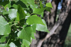 Leaves of a poplar. Young sheet of the poplar in sunshines Royalty Free Stock Images