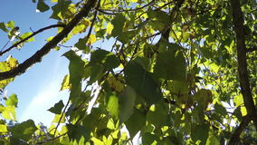 Leaves of poplar swaying in the wind. Closeup. Sun rays are punched through the leaves stock footage