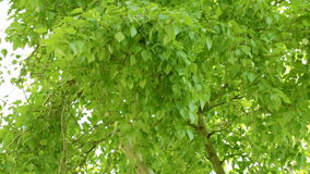 Leaves of the poplar stock video