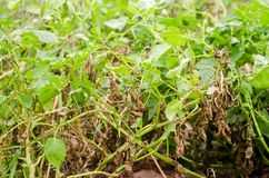 Leaves Of Potato With Diseases. Plant Of Potato Stricken Phytophthora Phytophthora Infestans In the field. Close Up. vegetables. stock image