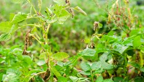 Leaves Of Potato With Diseases. Plant Of Potato Stricken Phytophthora Phytophthora Infestans In the field. Close Up. vegetables. stock photo