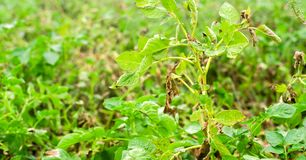 Leaves Of Potato With Diseases. Plant Of Potato Stricken Phytophthora Phytophthora Infestans In the field. Close Up. vegetables. royalty free stock images