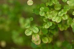Leaves a pretty small,Tree leaves spotted the small round Royalty Free Stock Image