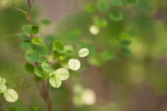 Leaves a pretty small,Tree leaves spotted the small round Royalty Free Stock Photos