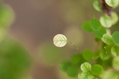 Leaves a pretty small,Tree leaves spotted the small round Royalty Free Stock Photography