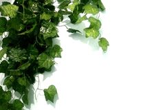 Leaves propagate on white walls royalty free stock photography
