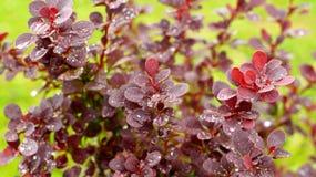 Leaves of Purple Berberis Thunbergii Stock Photos