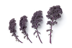 Leaves of purple kale Stock Photos