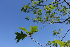 Leaves of quercus rubra against the sky. Leaves of quercus rubra against blue sky Royalty Free Stock Photo