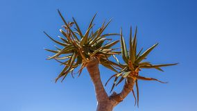 Leaves of the Quiver Tree, Aloe dichotoma, Namibia royalty free stock image