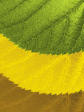 Leaves with ragged edges and seasonal colors Royalty Free Stock Photography