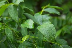Leaves in rain Royalty Free Stock Image
