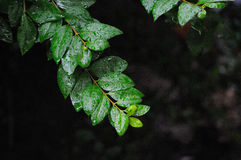 Leaves in the rain Royalty Free Stock Photos