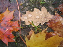 Leaves after the rain Royalty Free Stock Photo