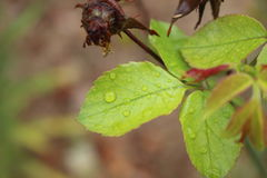Leaves. In the rain Stock Images