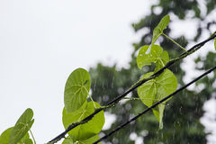Leaves in the rain on background. Stock Images