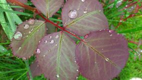 Leaves after rain Royalty Free Stock Image