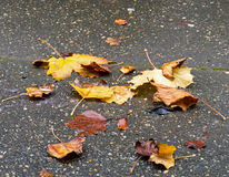Leaves in Rain Royalty Free Stock Images