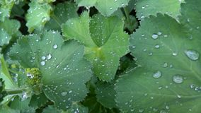 Leaves with Rain Drops Royalty Free Stock Image