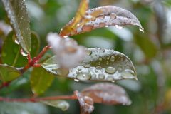 Leaves after the rain with water droplets hanging. Leaves after rain with water droplets pink red Royalty Free Stock Photography