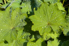 Leaves with raindrops background. Alchemilla (Lady's mantle) leaves with raindrops Royalty Free Stock Images