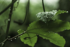 Leaves with raindrops. Green leaves with raindrops in a jungle environment Stock Image