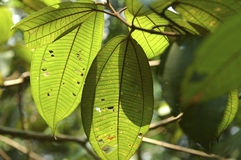 Leaves in rainforest. Leaves in the Amazonas rain forest Royalty Free Stock Photography