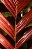 Leaves in rainforest. Red leaf in tropics, Oriente, Ecuador Royalty Free Stock Image