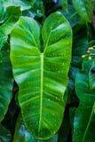 Leaves in the rainy season Stock Photo