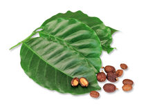Leaves with raw coffee beans Royalty Free Stock Photo