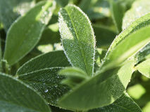 Leaves of red clover  covered with small drops of dew in the  wa Royalty Free Stock Photo
