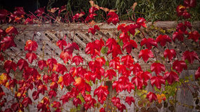 Leaves. Red colored Maple leafs of a fence Royalty Free Stock Image