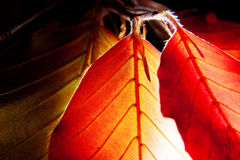 Leaves of Red European Beech Stock Photos