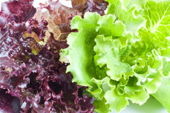 The leaves of red and green lettuce. Royalty Free Stock Photo